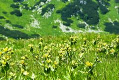 Alpine meadow. High altitude mountain meadow full of flowers in summer stock photo