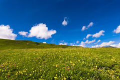 Alpine meadow. With fresh flowers and blue sky Royalty Free Stock Photo