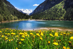 Alpine meadow with beautiful dandelion flowers near a lake in the mountains. Stilluptal, Austria, Tyrol. Stock Photography