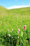 Alpine meadow Stock Image