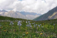 Alpine meadow with closeup flowers. Against the background of mountains and clouds Royalty Free Stock Photography