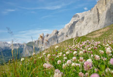 Alpine meadow with clover. Alpine flowers surrounded by mountains under blue sky with clovers close-up royalty free stock photography