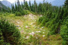 Alpine meadow and conifer forest Stock Image
