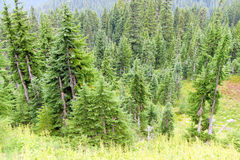 Alpine meadow and conifer forest Stock Photos