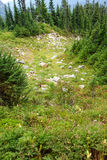 Alpine meadow and conifer forest Stock Photography