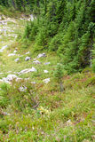 Alpine meadow and conifer forest Royalty Free Stock Photography