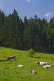 Alpine meadow cows Royalty Free Stock Image