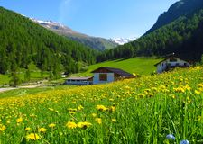 Alpine meadow field pasture wildflowers spring summer. Field of dandelions in the Alps in South Tirol Italy Royalty Free Stock Photo