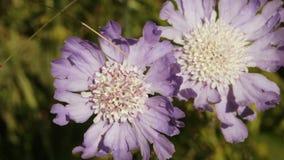 Alpine meadow flower stock video footage