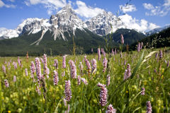 Alpine meadow flowers Stock Image