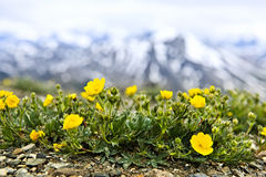 Alpine meadow in Jasper National Park Royalty Free Stock Photo