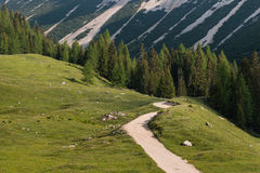 Alpine meadow with larch tree forest Royalty Free Stock Images