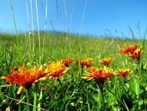 Alpine meadow with orange flowers Royalty Free Stock Photography