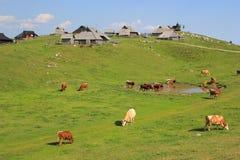 Alpine meadow pasture, Slovenia. Alpine pasture - flock and herder dwellings, Velika planina pastureland scenery, Kamnik Alps, Slovenia Royalty Free Stock Image
