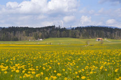 Alpine meadow with spring yellow flowers and cows. Gruyeres. Stock Images