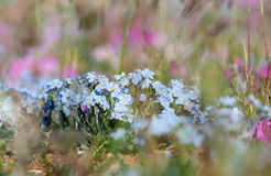 Alpine meadow in the summe Royalty Free Stock Photography