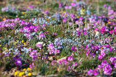 Alpine meadow in the summe. R. Forget-me-not flowers and other stock images