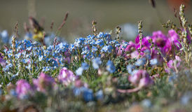 Alpine meadow in the summe. R. Forget-me-not flowers and other royalty free stock photography