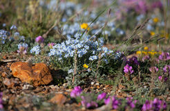 Alpine meadow in the summer. Forget-me-not flowers and other stock images