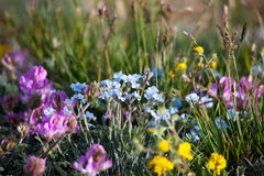 Alpine meadow in the summer. Forget-me-not flowers and other stock photography