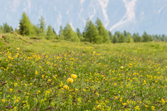 Alpine meadow with wildflowers Stock Photography