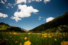 Alpine meadow with yellow flowers and green grass Alp Mountains on the background. Alpine meadow with yellow flowers and green grass with Alp Mountains on Stock Photo