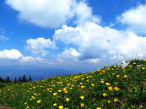 Alpine meadow with yellow flowers Royalty Free Stock Photography