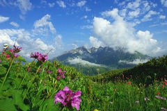 Alpine meadows and mountain flowers on a background of distant mountains in a beautiful cloud. Alpine meadows and mountain flowers on a background of distant Royalty Free Stock Photos