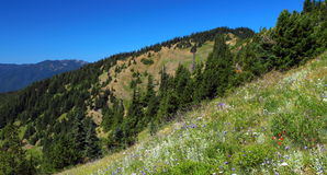 Alpine Meadows, Olympic National Park, Washington. The road to Hurricane Ridge in Olympic National Park in Washington allows easy access to the hiking trails Stock Image