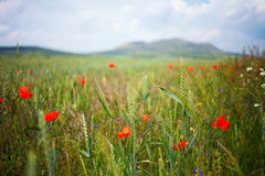 Alpine meadows with poppy. Alpine meadows with poppies in front of the mountains stock image