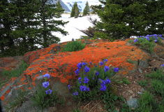Alpine meadows in Wyoming Royalty Free Stock Photography
