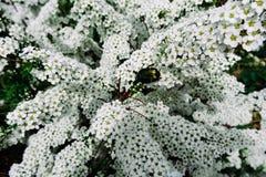 Alpine (meadowsweet) Frühlingsblume des Spiraea, weißer blühender Strauch mit Käfer Stockbilder