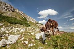 Alpine Milchkühe Browns in den Bergen stockfotos