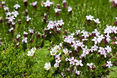 Alpine Moss Campion (silene acaulis) in the wild Stock Image