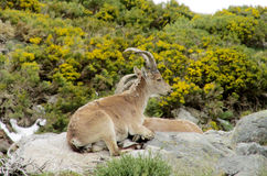 Alpine mountain goat, Alpine ibex, in the wild nature on green grass Stock Photos