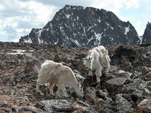 Alpine Mountain Goats Stock Photo