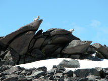 Alpine Mountain Goats. Mountain Goats at the base camp for Granite Peak, Montana stock photos