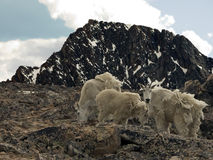Alpine Mountain Goats stock images