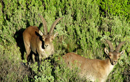 Free Alpine Mountain Goats, Alpine Ibex, In The Wild Nature On Green Grass Royalty Free Stock Photo - 45847515