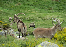 Alpine mountain goats, Alpine ibex, in the wild nature on green grass Royalty Free Stock Image