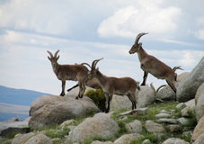Alpine mountain goats, Alpine ibex, in the wild nature on green grass Stock Images