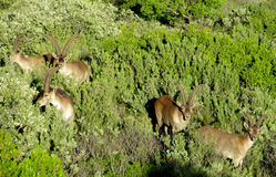 Alpine mountain goats, Alpine ibex, in the wild nature on green grass Stock Image