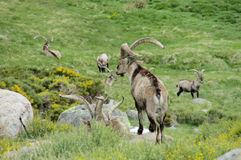 Alpine mountain goats, Alpine ibex, in the wild nature on green grass Stock Photo