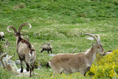 Alpine mountain goats, Alpine ibex, in the wild nature on green grass Stock Photography