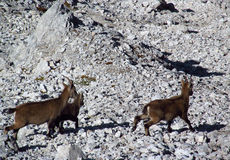 Alpine mountain goats, Alpine ibex, in the wild nature among rocks Royalty Free Stock Images