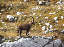 Alpine mountain goats, Alpine ibex,  in the wild on a stone in autumn Stock Photography