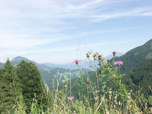 Alpine Mountain Thistle and Mountain View Stock Image