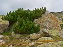 Alpine mountain vegetation close up background plant Pinus mugo textures and grass. Stones with lichen Stock Photo