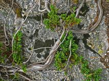 Alpine mountain vegetation close up background plant Pinus mugo textures and grass. Stones with lichen Stock Photography