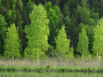 Trees planted by the water Stock Photography